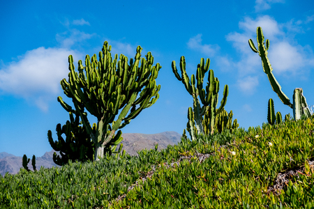 beautiful cactus plants over blue sky background on tenerife island. copy space. Stock Photo