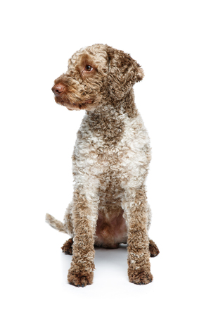 beautiful lagotto romagnolo dog on white background Stock Photo