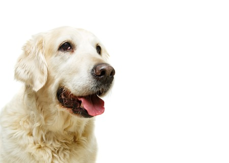 beautiful adult golden retriver dog on white background Stock Photo