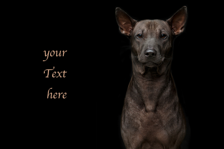beautiful young thai ridgeback dog on black background. studio shot. copy space. Stock Photo