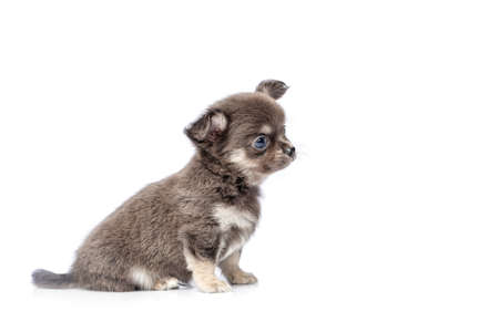 beautiful chihuahua purebred puppy dog isolated on white sitting. studio shot.