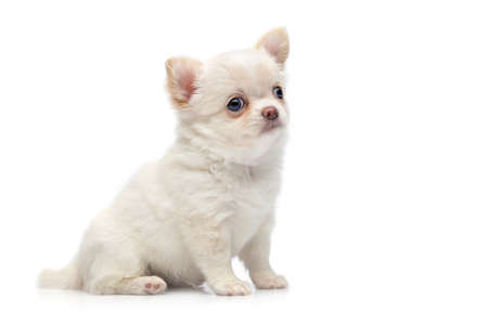 beautiful chihuahua purebred puppy dog isolated on white sitting