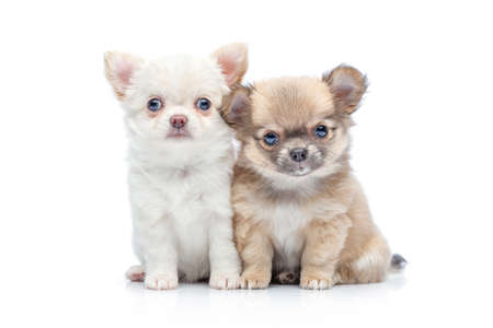 two beautiful chihuahua purebred puppy dogs isolated on white sitting. studio shot. Standard-Bild