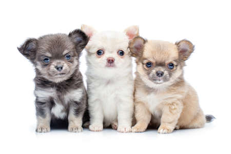 four beautiful chihuahua purebred puppy dogs isolated on white sitting. studio shot.