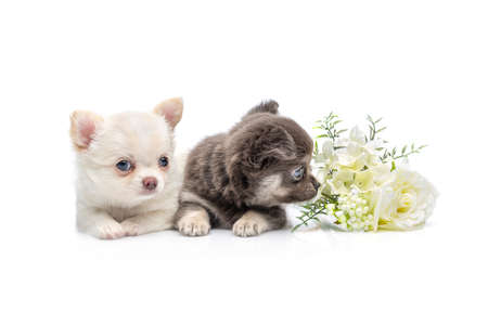 two beautiful chihuahua purebred puppy dogs with flower isolated on white sitting. studio shot.