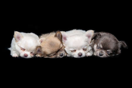 four beautiful chihuahua purebred puppy dogs lying over black background. studio shot.
