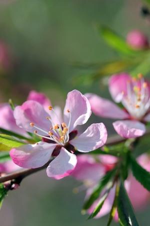 Flower of  wild almond close-up, soft focus photo