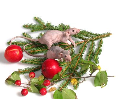 Rats on fir tree leaf Stock Photo - 2292448