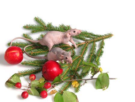 Rats on fir tree leaf Stock Photo - 2292448