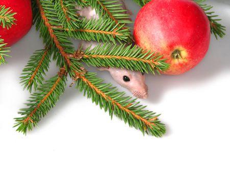 ratty: Il ratto osserva sui rami degli pelliccia-alberi e di una mela rossa
