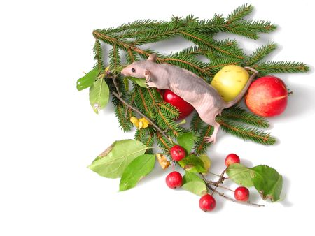 ratty: Il ratto � seduto su un ramo di un albero di Capodanno. Oltre 2 mele