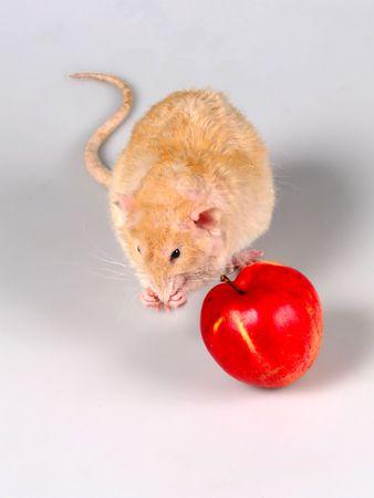 ratty: Il ratto Shaggy lavaggi prima pasto. Seduti uno accanto mela rossa