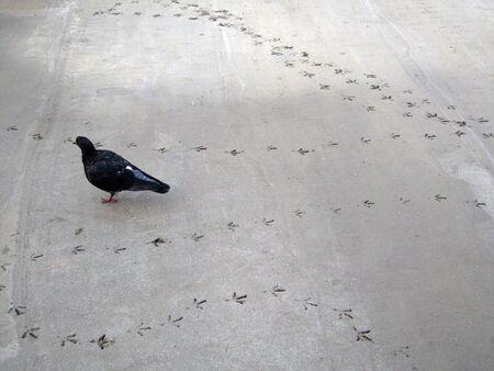 Traces of the pigeon on asphalt, concrete photo