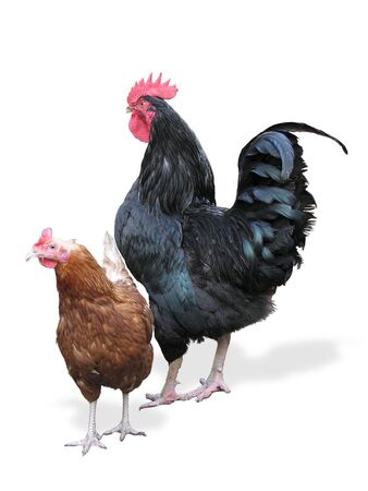 The curious red hen near to the black proud rooster. Stock Photo - 2317280
