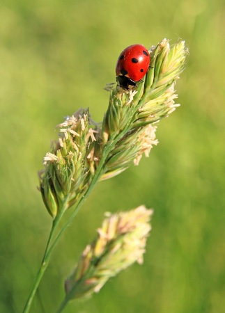 The ladybird sits on a grass photo