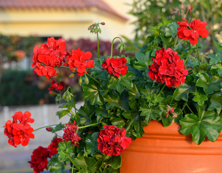 Red geranium ( pelargonium) flowers in a flowerpot. Stock Photo