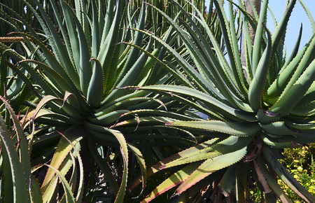 canary: Aloe plants growing wild in Tenerife,Canary Islands,Spain.Floral background. Stock Photo