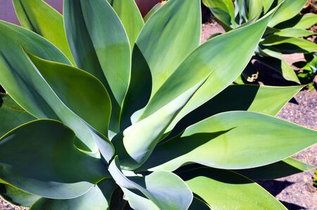 agave: Agave succulent plants growing wild in Tenerife, Canary Islands, Spain.Floral background. Stock Photo