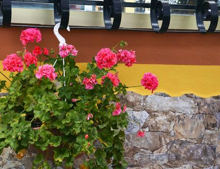 Geranium plant with pink flowers in hanging flower pot on stone wall background.Pink Pelargonium flowers.Geranium Peltatum. Selective focus.