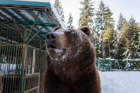 Portrait of brown Bear Sanctuary in playing in the snow.