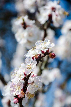 asian gardening: Flowering cherry trees, beautiful white flowers