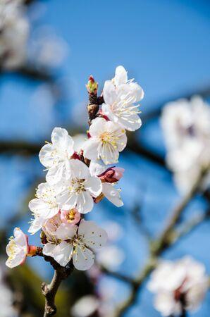 Flowering cherry trees beautiful white flowers stock photo picture flowering cherry trees beautiful white flowers stock photo 76061053 mightylinksfo