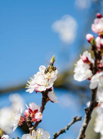 Flowering cherry trees, beautiful white flowers