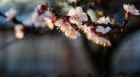 springtime background: Flowering cherry trees, beautiful white flowers