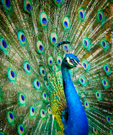 Portrait of a beautiful peacock. Nature, photo of wild animals. Peacock with a beautiful blossomed tail Stock Photo