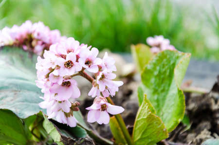 Beautiful pink flowers with green leaves Stock Photo