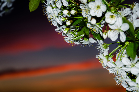 weathered: Blossoming tree against a beautiful sky sunset Stock Photo