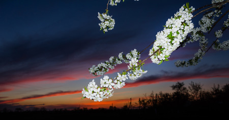 Blossoming tree against a beautiful sky sunset Stock Photo