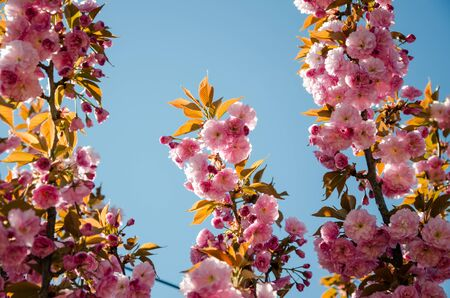 Sakura. Blooming cherry blossom on blue sky background with spring background Stock Photo