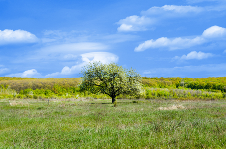 vacant land: Tree in the field. Summer landscape. The flowering of the tree against the background of the mountains
