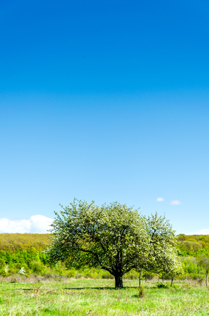 Tree in the field. Pictures of the summer landscape. Tree in a green field. Stock Photo