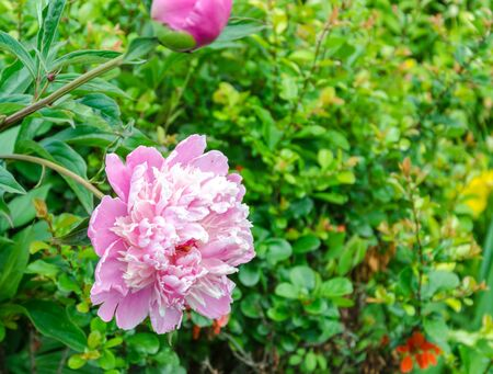 Beautiful pink Blossoming peony flower. Against the background of a green bush Stock Photo