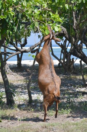 hind: Goat stands on its hind legs and chews leaves of the tree