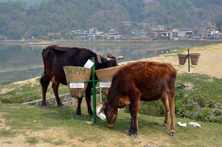 phewa: Cows eat from trash bins. Phewa Lake, Pokhara, Nepal Stock Photo