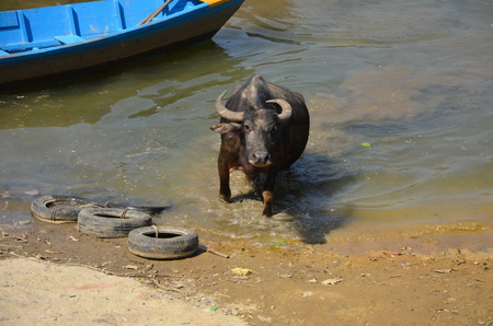 phewa: Big buffalo comes out from the water. Phewa lake, Pokhara, Nepal