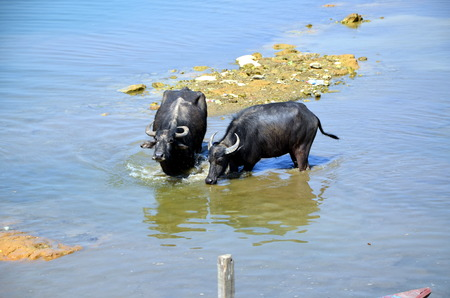 phewa: Two buffaloes  swim  in the lake Phewa. Pokhara, Nepal Stock Photo