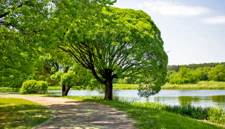 Summer landscape. A tree with a spherical crown on the banks of the river and a lot of greenery Banque d'images