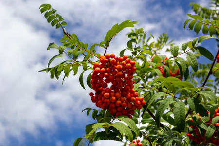 Branch of a mountain ash with red berries against the blue sky Stock fotó - 155451465