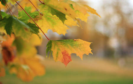 Bright colors of autumn. Branch with autumn leaves