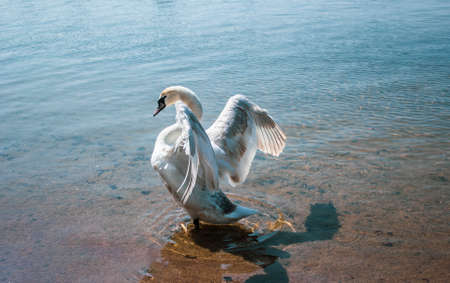 Beautiful swan spreads its wings on a sunny morning.