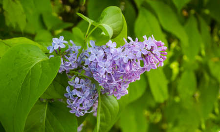 Lilac blooms. Beautiful bouquet of lilacs close up. Blooming lilacs. Blooming lilac bush. Lilac flowers in the garden.