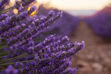 Fragrant lavender flowers at beautiful sunrise, Valensole, Provence, France, close up