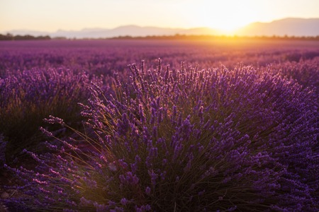 Beautiful frigid fields at sunset. Valensole, Provence, France Reklamní fotografie