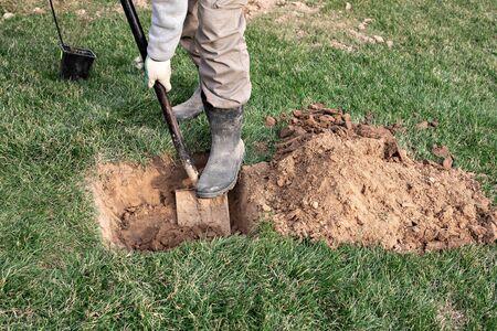 Gärtner benutzt Schaufel, um jungen Obstbaum mit Wurzeln zu pflanzen, um kleine Pflanzen in seinem Obstgarten zu vermehren.