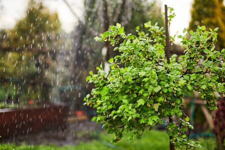 The gooseberry Bush with delicate green leaves in drops of water after watering