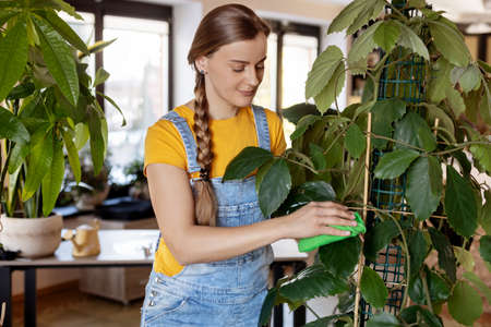The girl wipes the dust from the leaves of indoor plants. Home gardening, plant care